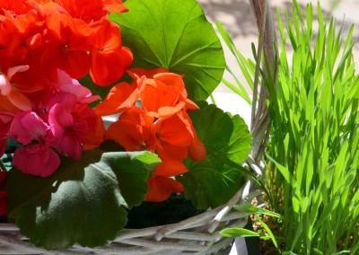 4 inch Geranium for the Garden Whatcom County 01