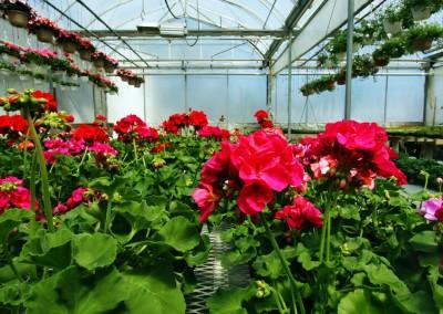 4 inch Geranium for the Garden Whatcom County 02