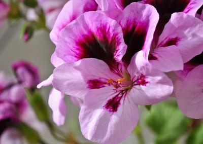4 inch Geranium for the Garden Whatcom County 03
