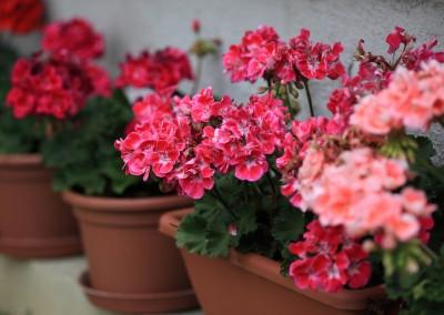 4 inch Geranium for the Garden Whatcom County 05