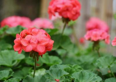 4 inch Geranium for the Garden Whatcom County 06