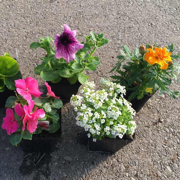 4 inch Annuals