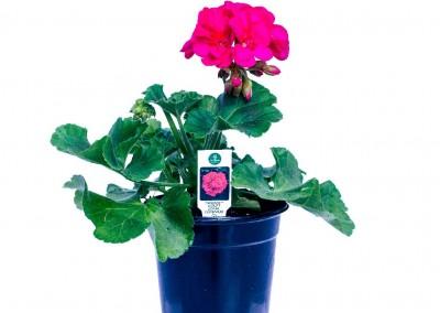 Geranium Dynamic Violet