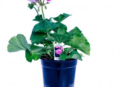 Geranium Fantasia Raspberry Twizzle