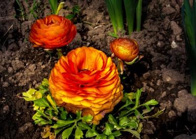 Ranunculus Whatcom County 06