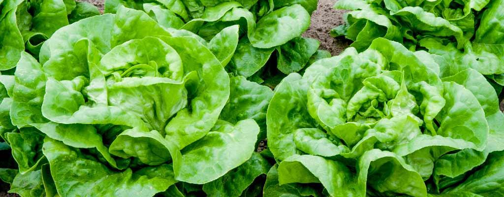 Buttercrunch Lettuce Bellingham Washington