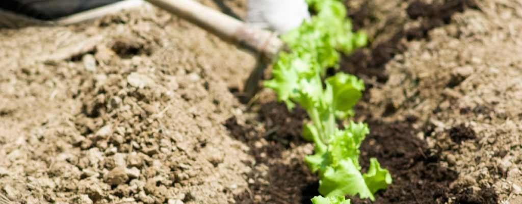 Parris Island Romaine Lettuce Starts Lynden Washington