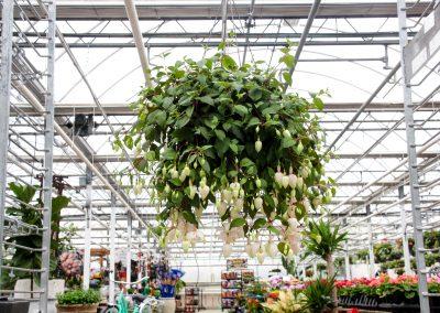 Van Wingerden Fushcia Hanging Basket 05