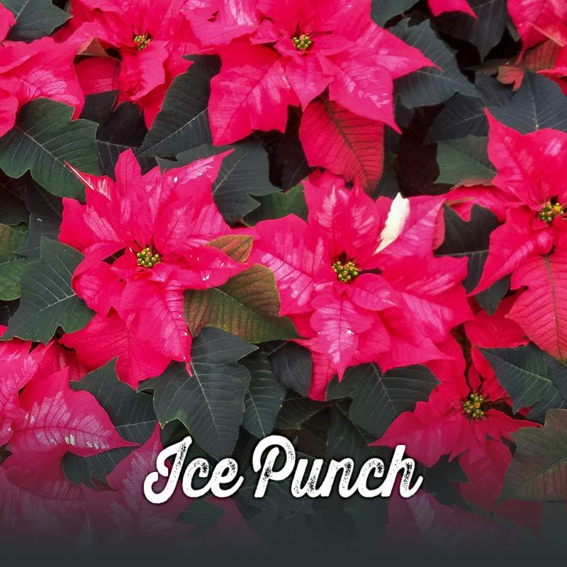 Poinsettia Ice Punch 800x800 Van Wingerden Home Garden Center