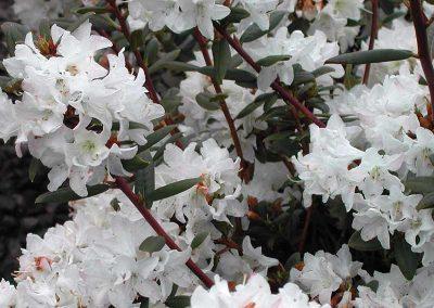 01 Sugar Puff Rhododendron Garden Ideas