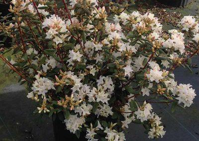 02 Sugar Puff Rhododendron Garden Ideas