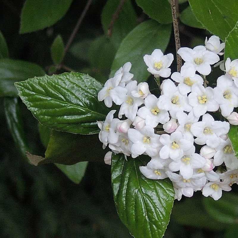Burkwood viburnum has very fragrant flowers van wingerden home 03 burkwood viburnum garden ideas mightylinksfo