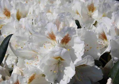 03 Sugar Puff Rhododendron Garden Ideas