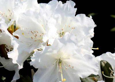 04 Sugar Puff Rhododendron Garden Ideas