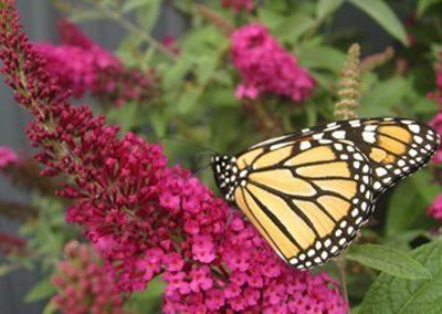 01-miss molly butterfly bush