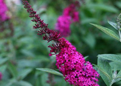 03-miss molly butterfly bush Garden Ideas