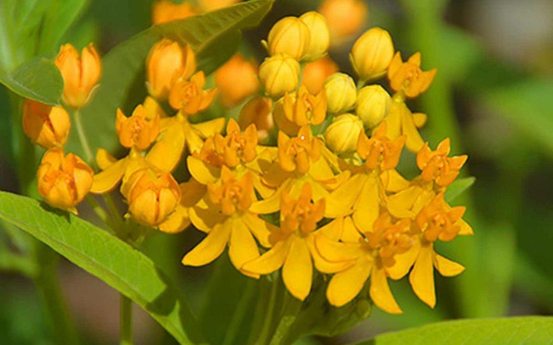 Silky Gold Milkweed