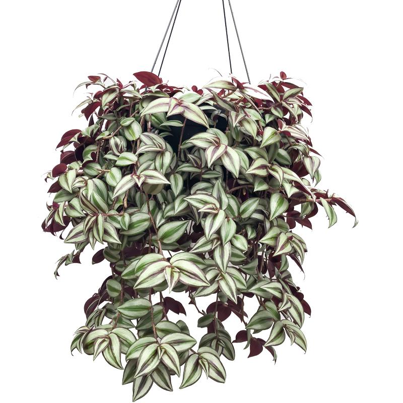 retouched wandering jew hanging basket tradescantia zebrina van wingerden home garden center. Black Bedroom Furniture Sets. Home Design Ideas