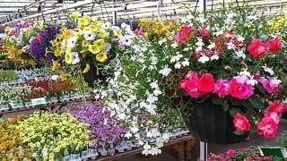 Fertilizing your hanging baskets.