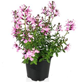 Salvia greggii Mirage Soft Pink