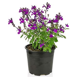 Salvia greggii Mirage Violet